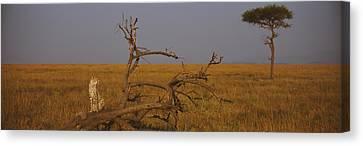 African Cheetah Acinonyx Jubatus Canvas Print by Panoramic Images
