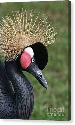 African Crowned Crane #2 Canvas Print