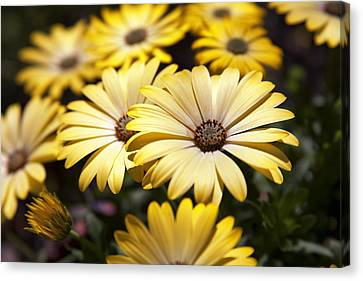 African Daisies Canvas Print by Caitlyn  Grasso