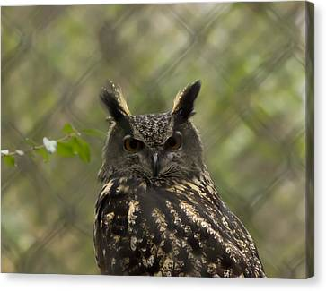 African Eagle Owl Canvas Print