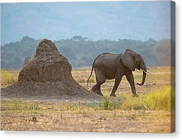 African Elephant Alongside Termite Mound Canvas Print by Tony Camacho