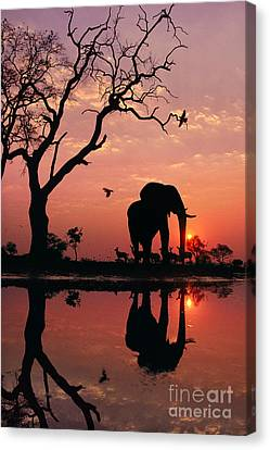 African Elephant At Dawn Canvas Print by Frans Lanting MINT Images