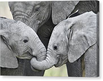 African Elephant Calves Loxodonta Canvas Print by Panoramic Images