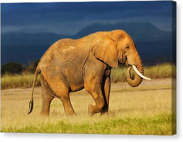 African Elephant Eating Grass Canvas Print