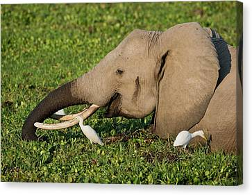 African Elephant Feeding Alongside Egrets Canvas Print by Tony Camacho