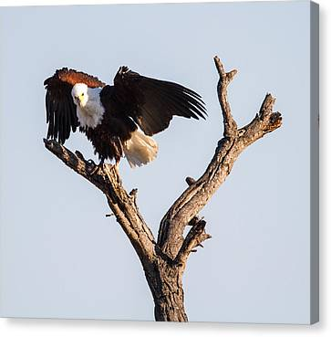 African Fish Eagle Canvas Print by Craig Brown