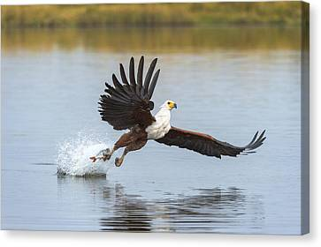 African Fish Eagle Fishing Chobe River Canvas Print by Andrew Schoeman