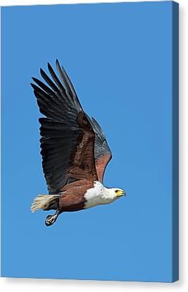 African Fish Eagle In Flight Canvas Print by Tony Camacho