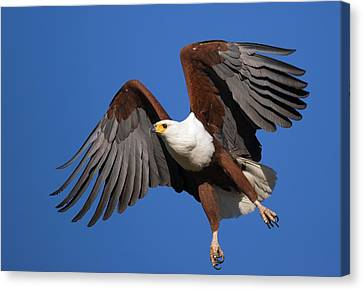 African Fish Eagle Canvas Print by Johan Swanepoel