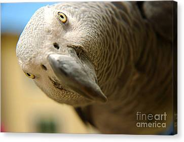African Gray Canvas Print by Micah May