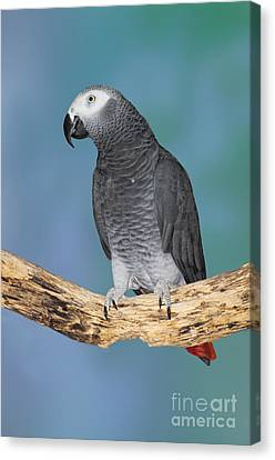 African Gray Parrot Canvas Print by Anthony Mercieca