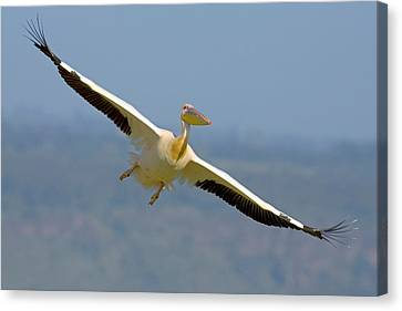 Flying White Pelicans Canvas Print - African Great White Pelican by Panoramic Images