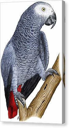 African Grey Parrot Canvas Print by Roger Hall