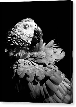 African Grey  Canvas Print by Paulina Szajek