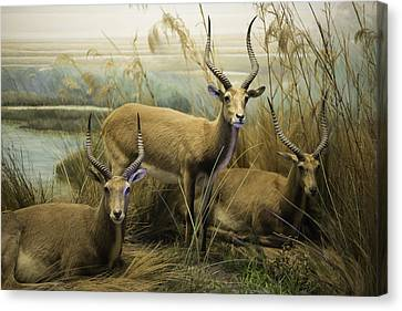 African Impalas Canvas Print by Diego Re