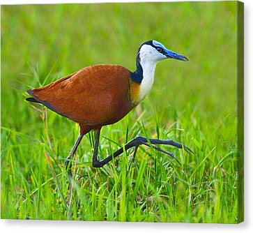 African Jacana Canvas Print by Tony Beck