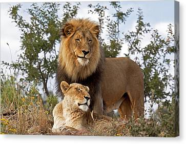 African Lion And Lioness Botswana Canvas Print by Erik Joosten