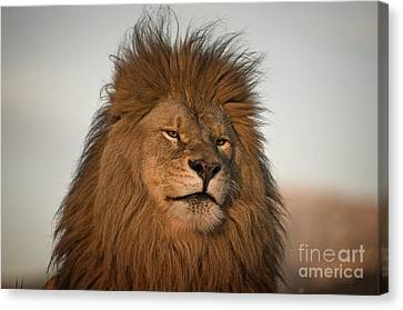 African Lion-animals-image Canvas Print by Wildlife Fine Art