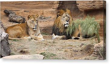 African Lion Couple 2 Canvas Print