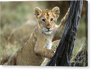 African Lion Cub Climbing Masai Mara Canvas Print by