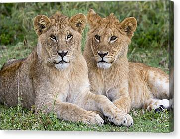 African Lion Juvenile Males Serengeti Canvas Print by Erik Joosten