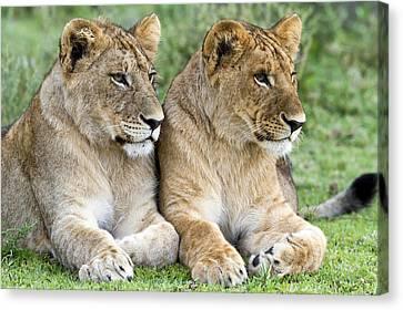African Lion Juveniles Serengeti Np Canvas Print