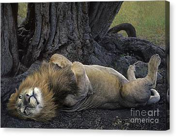 African Lion Panthera Leo Wild Kenya Canvas Print by Dave Welling
