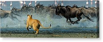 African Lioness Panthera Leo Hunting Canvas Print by Panoramic Images