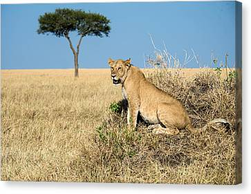 African Lioness Panthera Leo, Serengeti Canvas Print by Panoramic Images