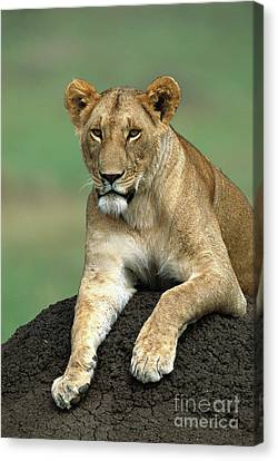 African Lioness Masai Mara Canvas Print
