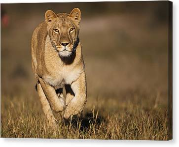 African Lioness Sirga Running Kalahari Canvas Print by Theo Allofs