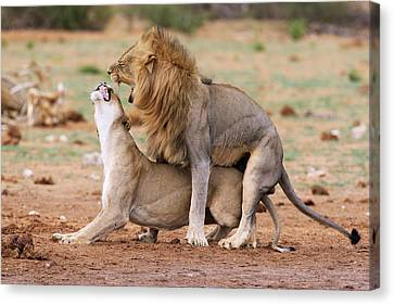 African Lions Mating Canvas Print