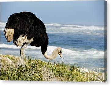 African Ostrich Foraging Next To Beach Canvas Print by Sami Sarkis