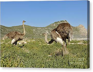 African Ostriches Foraging Next To Beach Canvas Print by Sami Sarkis