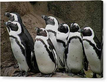 African Penguins Canvas Print by Brian Chase