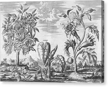 African Plants, 17th Century Canvas Print