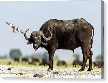 African Skimmer Mobbing A Cape Buffalo Canvas Print by Peter Chadwick