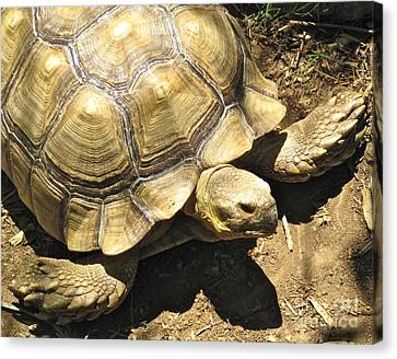 African Spurred Tortoise Canvas Print by CML Brown