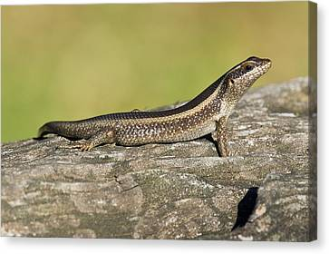 African Striped Skink On A Rock Canvas Print by Science Photo Library