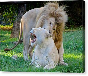 African White Lions Canvas Print