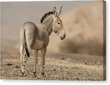 African Wild Ass (equus Africanus) Canvas Print by Photostock-israel