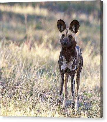 African Wild Dog  Lycaon Pictus Canvas Print