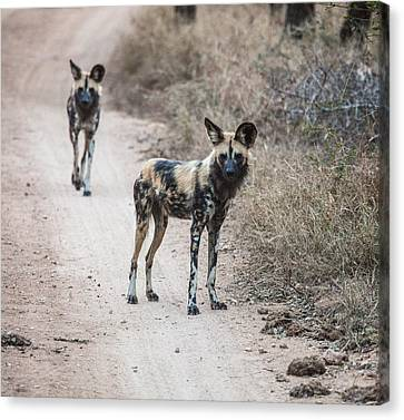 African Wild Dogs Canvas Print by Craig Brown