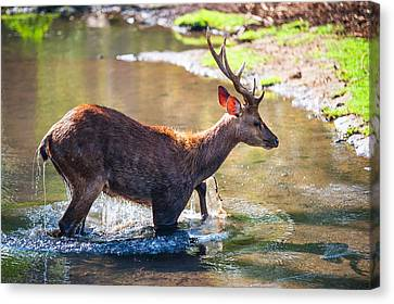 After Bathing. Male Deer In The Pampelmousse Botanical Garden. Mauritius Canvas Print by Jenny Rainbow