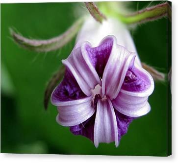 After Morning Glory Canvas Print