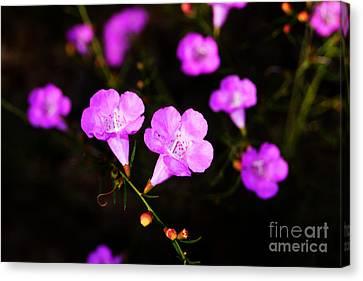 Agalinis Paupercula Or False Foxglove Canvas Print
