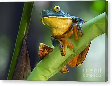 Agalychnis Calcarifer 4 Canvas Print by Arterra Picture Library