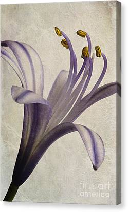 Agapanthus Africanus Star Canvas Print by John Edwards