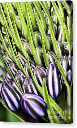 Agapanthus Buds Canvas Print by Joy Watson