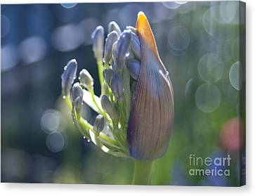 Agapanthus Coming To Life Canvas Print by Haleh Mahbod